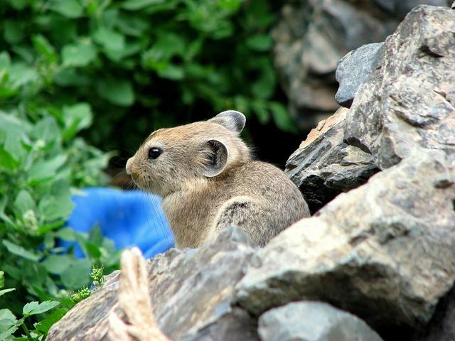 Sardinian Pika, Rodent, Pet, Mongolia, Word