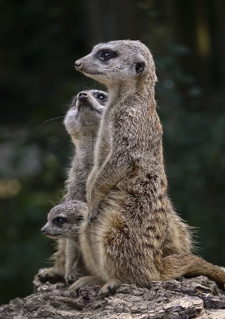 Fauna, Suricate, Mongoose, Mammal, Nature, Wild