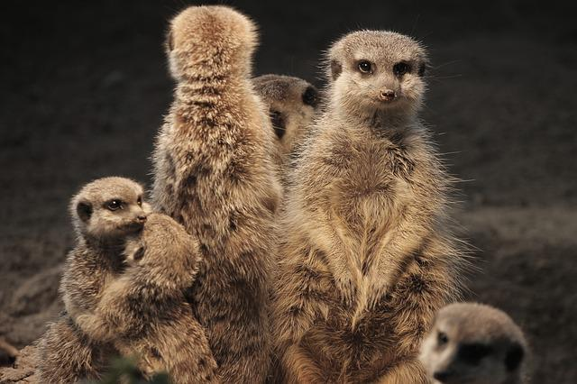 Meerkat, Family, Warm, Heat, Mongoose, Scharrtier