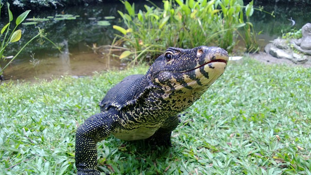 Monitor, Iguana, Lizard, Monitor Lizard, Dragon