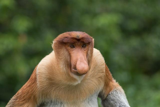 Monkey, Wildlife, Proboscis, Animal, Forest, Borneo