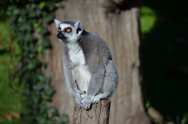 Ring Tailed Lemur, Lemur, Zoo, Animal, Monkey