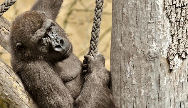 Gorilla, Monkey, Animal, Furry, Omnivore, Portrait