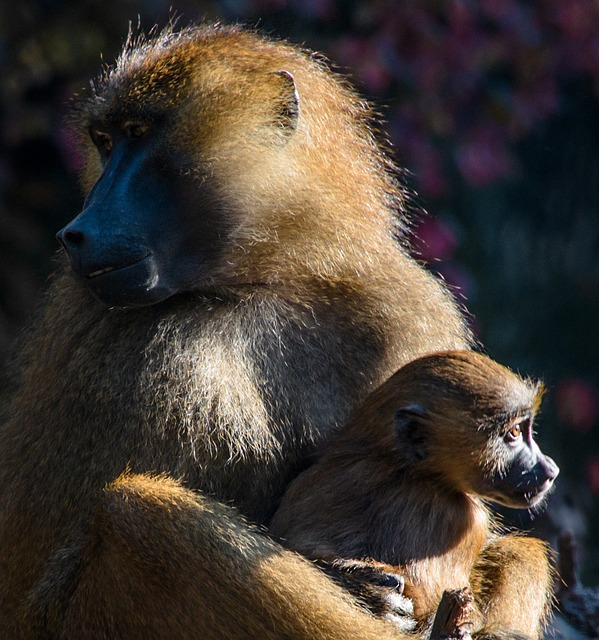 Ape, Berber Monkeys, Monkey Baby, Monkey Portrait