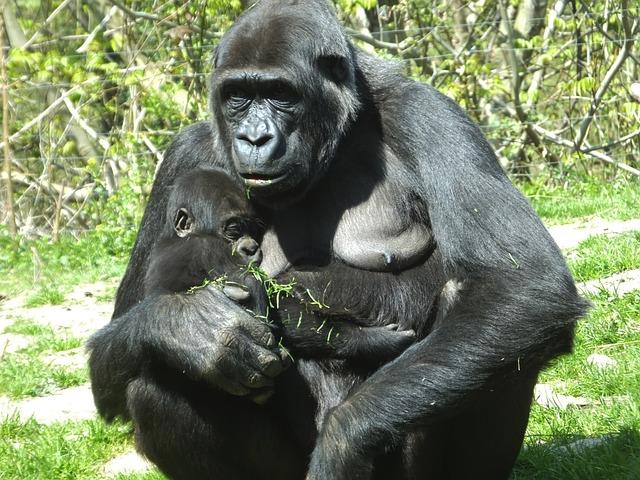 Gorilla, Ape, Monkey, Mammal, Dam, Monkey Baby