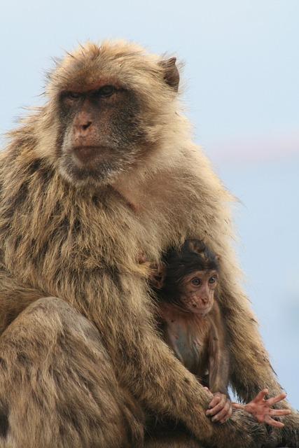 Barbary Ape, Gibraltar, Monkey