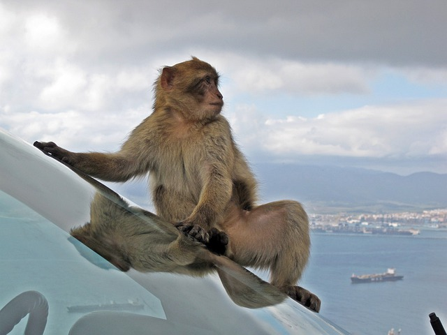 Barbary Macaque, Wildlife, Monkey, Animal, Car Window