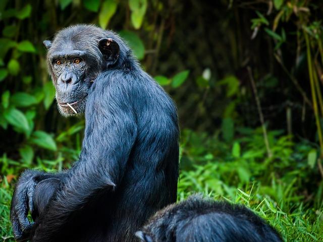 Chimpanzee, Monkey, Ape, View