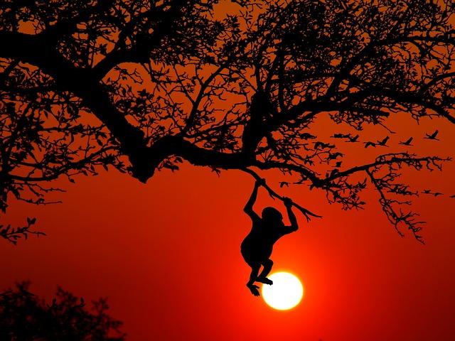 Monkey, Animal, Wilderness, Nature, Climb, Tree, Sunset
