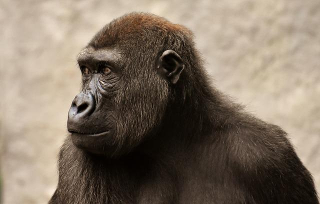 Gorilla, Monkey, Ape, Evolution, Animal, Furry