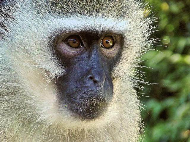 Vervet, Monkey, Female, Animal, Hartbeespoort Dam