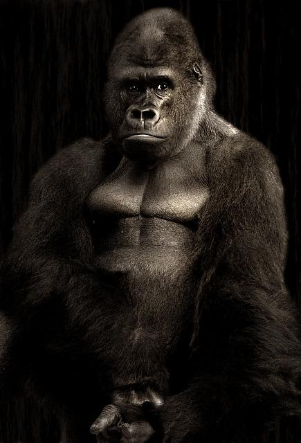 Gorilla, Silverback, Monkey, Silvery Grey, Powerful