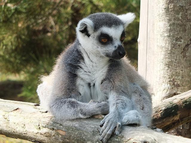 Lemur, Maki, Maki Catta, Monkey Maki