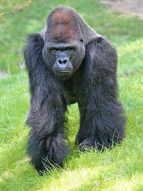 Gorilla, Lowland, West, Monkey, Primate, Male, Mammal
