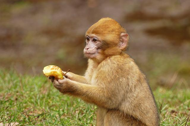 Ape, Monkey, Animal, Cute, Mammal, Wildlife, Primate