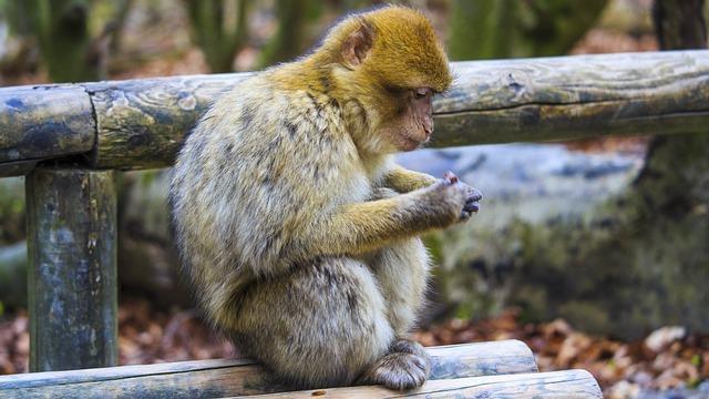 Barbary Ape, Monkey, Monkey Mountain, Salem, Nature