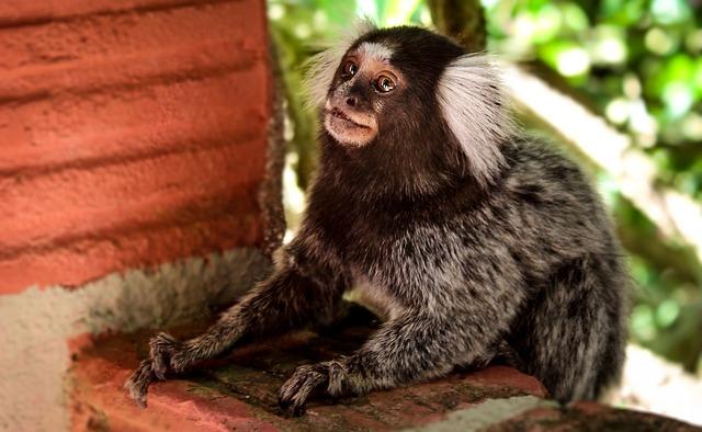 Marmoset, Nature, Monkey