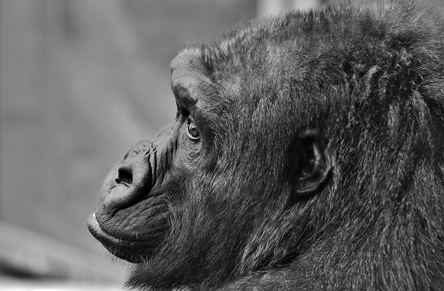 Gorilla, Monkey, Animal, Furry, Omnivore