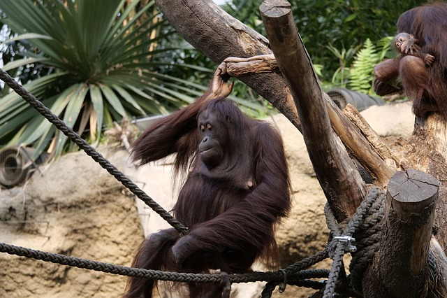 Mammal, Orang-utan, Orang-utan-baby, Monkey, Nature