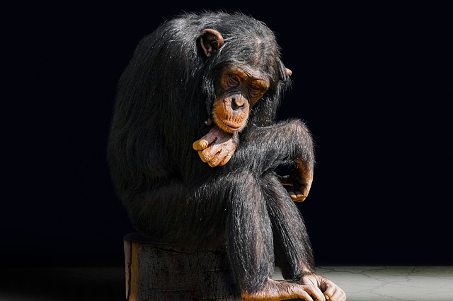 Animal, Primate, Monkey, Boredom, Chimpanzee, Portrait