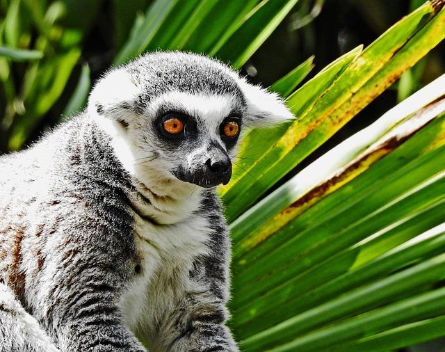 Primate, Lemur, Monkey, Fauna
