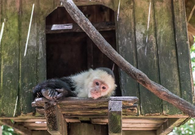 White-headed Capuchin, Monkey, Mammal, Primate