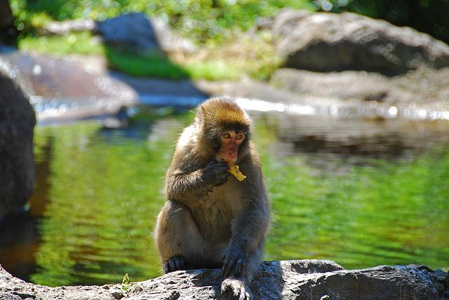 Makake, Monkey, Wildlife Photography, Primate, Eat