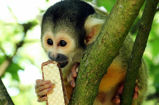 Squirrel Monkey, Monkey, äffchen, Exotic, Primate