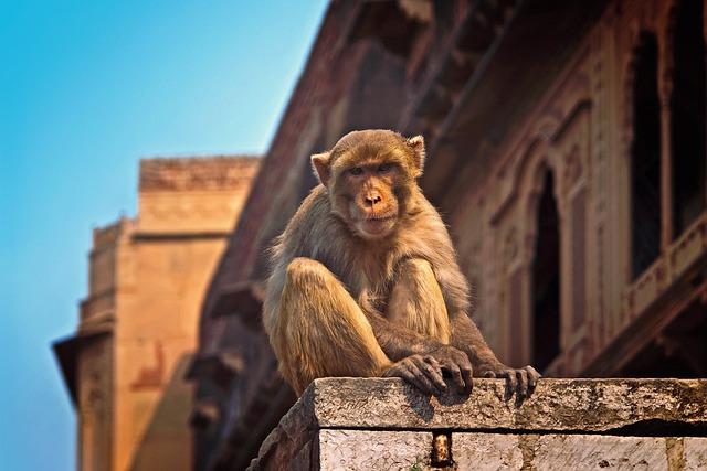 Monkey, India, Vrindavan, Wild, Travel, Animal, Asia