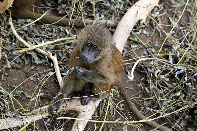 Baboon, Baby Baboon, Monkey, Wildlife, Animal, Nature