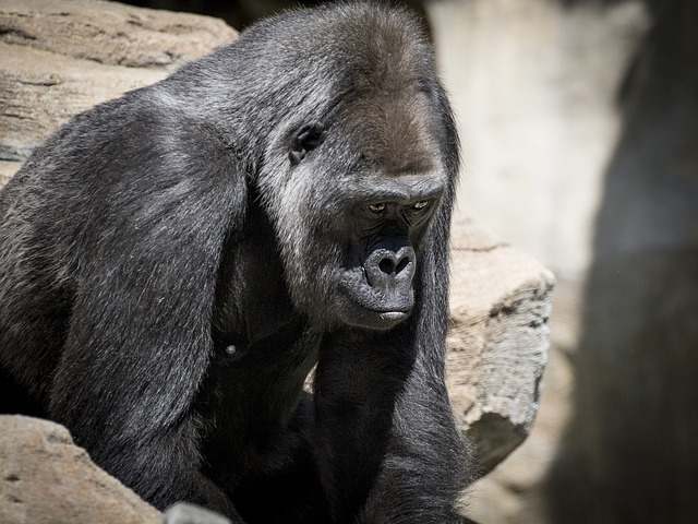 Gorila, Monkey, Apes, Sitting, Wildlife, Mammal