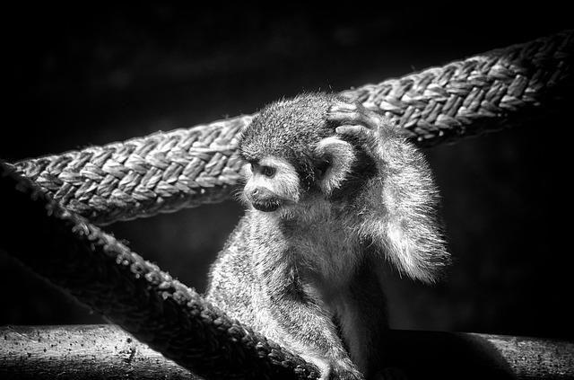 Monkey, Spider Monkey, Primate, Animal, Wildlife, Wild