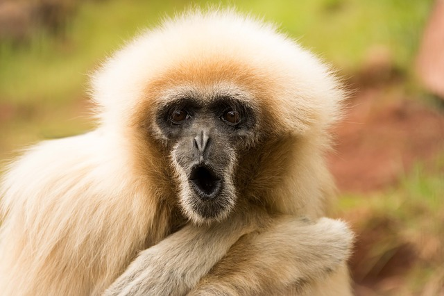 Monkey, Zoo, Funny, Cute, Animal, Primate, Fur, Ape