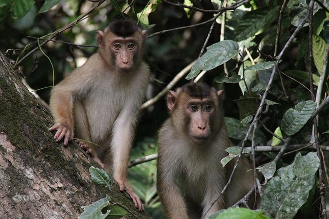 Monkeys, Borneo, Wildlife, Malaysia, Wild, Primate
