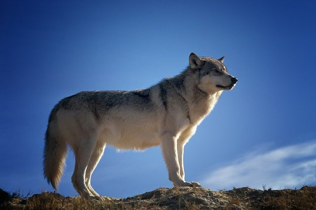 Wolf, Predator, Wildlife, Montana, Nature, Outside, Sky
