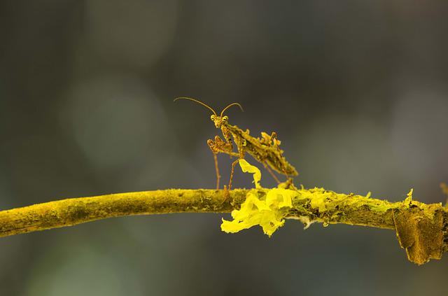 Mimicry, Mantis, Montane Forest, Peruvian Biodiversity