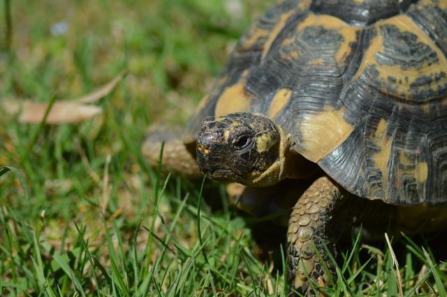 Turtle, Greek Tortoise, Moorish Turtle