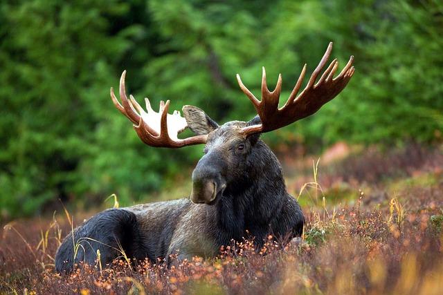 Moose, Moose-rack, Male, Bull, Animal, Nature, Antlers
