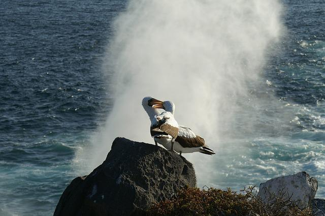 Albatrosses, More, Water, Rock, Bird, Galapagos