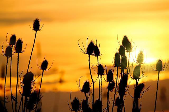 Wild Teasel, Sunrise, Morgenrot, Skies, Dawn, Sun