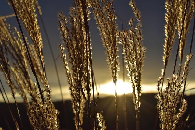 Morgenrot, Morgenstimmung, Grasses, Dried Plants