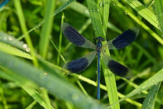 Dragonfly, Banded Demoiselle, Morgentau, Drop Of Water