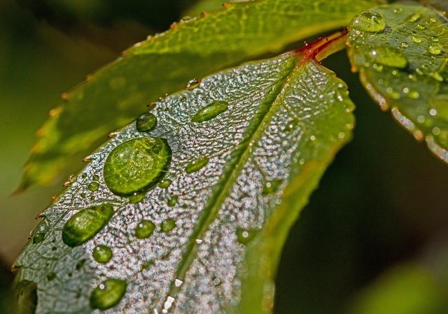 Drop Of Water, Water, Leaves, Morgentau, Beaded