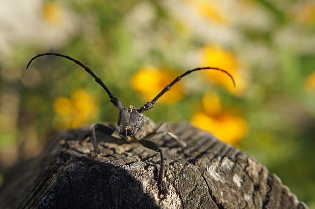 Cincér, Insect, Beetle, Macro, Morimus Funereus