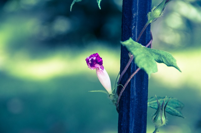 Morning Glory, Fujino, Plant, The Pods, Purple, Mito