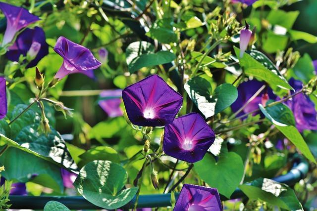 Superb Thread, Morning Glory, Wind Greenhouse