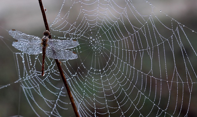 Dragonfly, Dew, Spider Web, Morning, Insecta, Drops