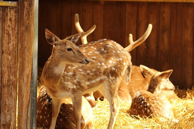 Animals, Deer, Spotted Deer, Morning, Light, Hay