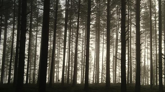 Pine, Pine Forest, Morning, Mist, Nature, Landscape