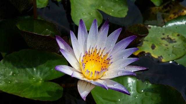 Nymphaea Alba, Purple 蓮, Flower, Morning
